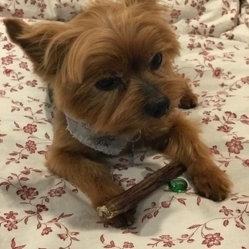 Valentine day with your Yorkie
