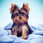 Purebred or Non-Purebred Yorkies - How to Tell if Your Yorkie is Purebred
