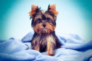 Yorkie Colors