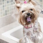 How to Make Your Yorkie Less Aggressive and Angry - You Must Do This