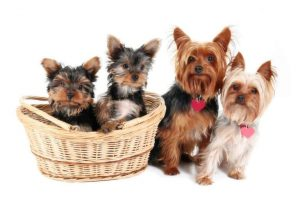 Different Types of Yorkies