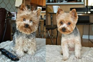 Before and After Yorkie Haircut
