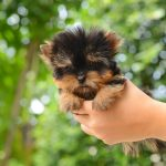 How Big Do Teacup Yorkies Get? The Expected Size of a Full-Grown Teacup Yorkie