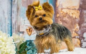 Teacup-Yorkie-Life-Expectancy