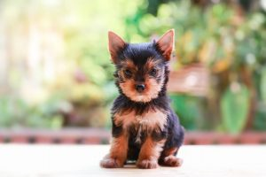 Teacup-Yorkie-What-To-Know-Before-Buying-Cover
