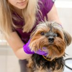 The Yorkie Collapsed Trachea, Yorkie Reverse Sneeze, and Other Respiratory Problems in Yorkies