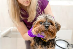Yorkie collapsed trachea