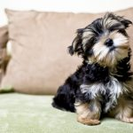 Yorkshire Terrier Growth Chart - How Big Will Your Yorkie Get?