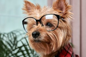 Yorkie on glasses