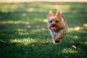 Yorkie Tail Docking