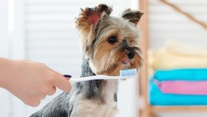 Yorkie Dental Care