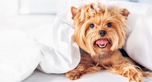 Yorkie Terrier in blanket