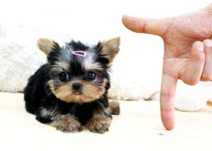 Purebreed Tiny Yorkie Puppy