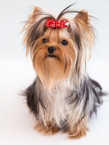 Cute Yorkie Puppy with red bow
