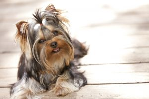 dog yorkie heat cycle