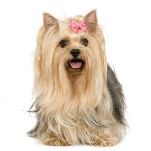 Yorkie Pretty in Pink bow