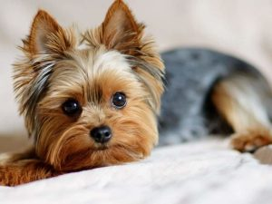 What does a Yorkie Look Like