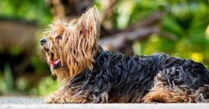 Yorkshire Terrier ears