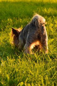 Yorkie sniffing the grass
