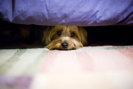 Yorkie hiding under the bed