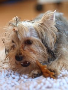 Care for Yorkie eyes