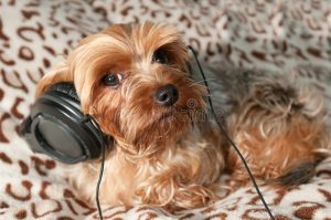 Yorkie Listening to Music