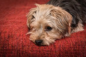 Cute Yorkshire Terrier puppy dog