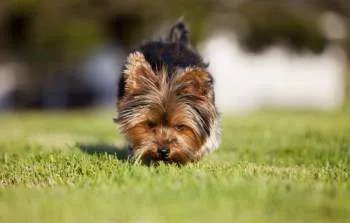 Yorkie sniffing at ground