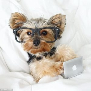 Yorkie in bed with a Mac and glasses