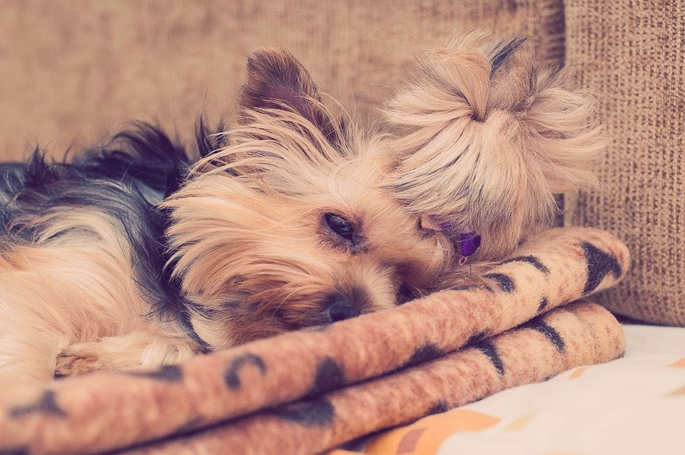 Sleeping Yorkie Tongue Sticking Out