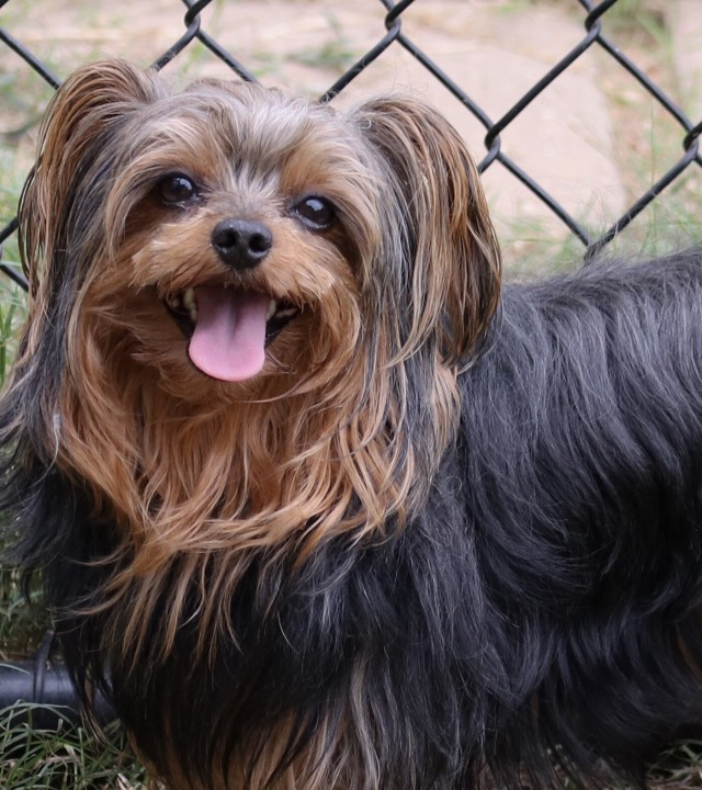 Yorkiepoo Dog with his tongue out