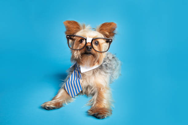 An adorable Yorkshire Terrier wearing nerdy glasses and a business tie.