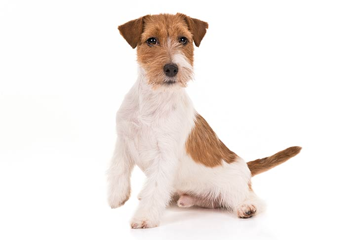 Russell Terrier