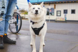 a white dog with a harness