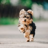 Your Complete Yorkie Guide